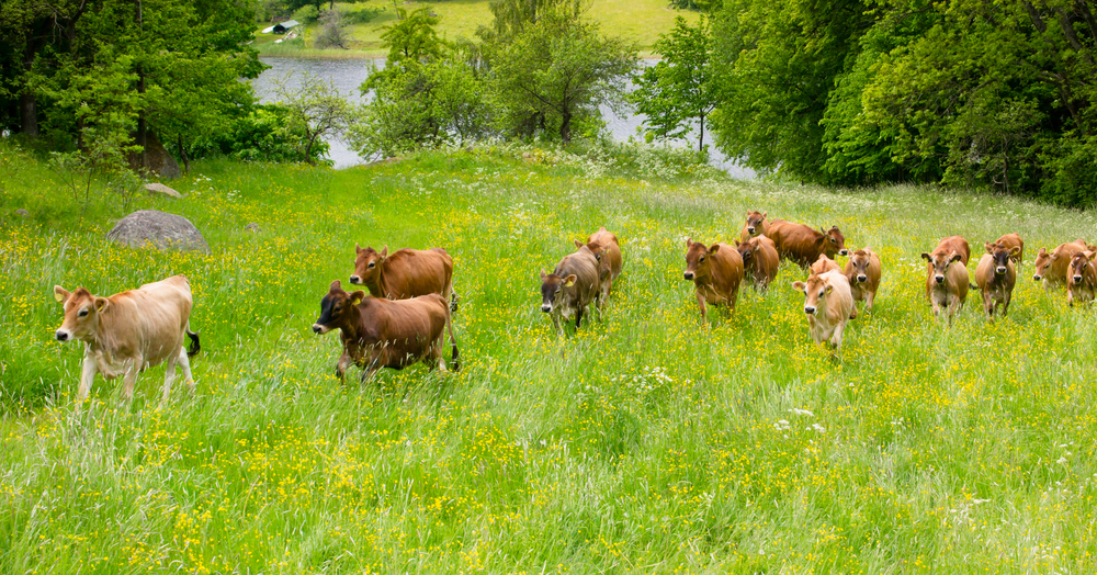 Jersey Rinder im Familienverbund